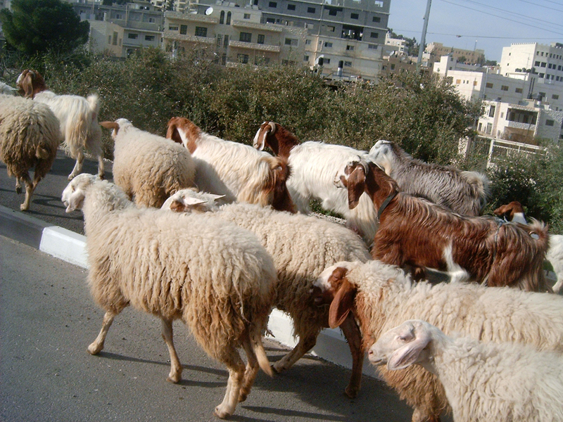 MagPro Photo of the Day: Goat Jam  Just outside of Bethany (Lazaria), located in Palestine, while riding in my friends Taxi, we hit a 'goat jam.' None of the goats overheated, nor were there any lewd gestures that I saw despite the congested traffic.  For more photos, please visit MagPro Photos (www.MagPro.org/Photos)