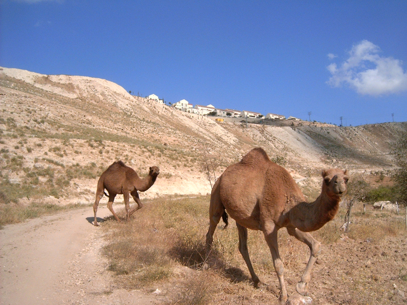 MagPro Photo of the Day: 'Hello, I'm a Wild Camel; and I'm Not So Sure I'm Wild About You'  This camel was charging, maybe not so sure that Hermes and I had the most honorable intentions while passing by – on way from Jerusalem to Jericho. [This was possibly the same route taken by the one beaten up in 'the Good Samaritan' story.] Sometimes we assume the worst of others if we don't take the time to get to know them. But I am glad he didn't play red-rover with us. Wild camel, I wish you and your camel friends the best.   For more photos, please visit MagPro Photos (www.MagPro.org/Photos)