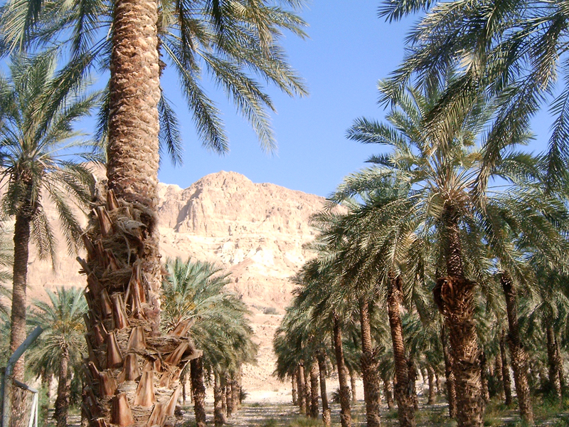 MagPro Photo of the Day: Ein Gedi, Israel Palm Trees  Psalm 92:12-15: 'The righteous shall flourish like the palm tree: he shall grow like a cedar in Lebanon. Those that be planted in the house of the LORD shall flourish in the courts of our God. They shall still bring forth fruit in old age; they shall be fat and flourishing; To shew that the LORD is upright: he is my rock, and there is no unrighteousness in him.'  More photos? visit MagPro Photos