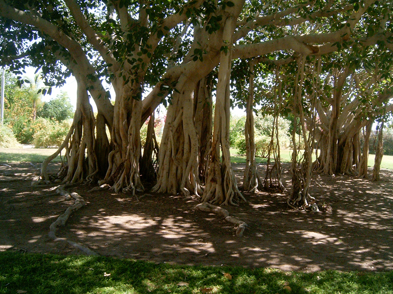 MagPro Photo of the Day: Are these Trees Searching for Soil?  At a botanical Kibbutz located in Ein Gedi, Israel, I came across these beautiful root exposed trees. Their roots are naked, but they still look good. Maybe the soil these trees are in is so good that they don't need to be covered up in dirt. Matthew 13:8 'But other fell into good ground, and brought forth fruit, some an hundredfold, some sixtyfold, some thirtyfold.'  For more photos, please visit MagPro Photos (www.MagPro.org/Photos)